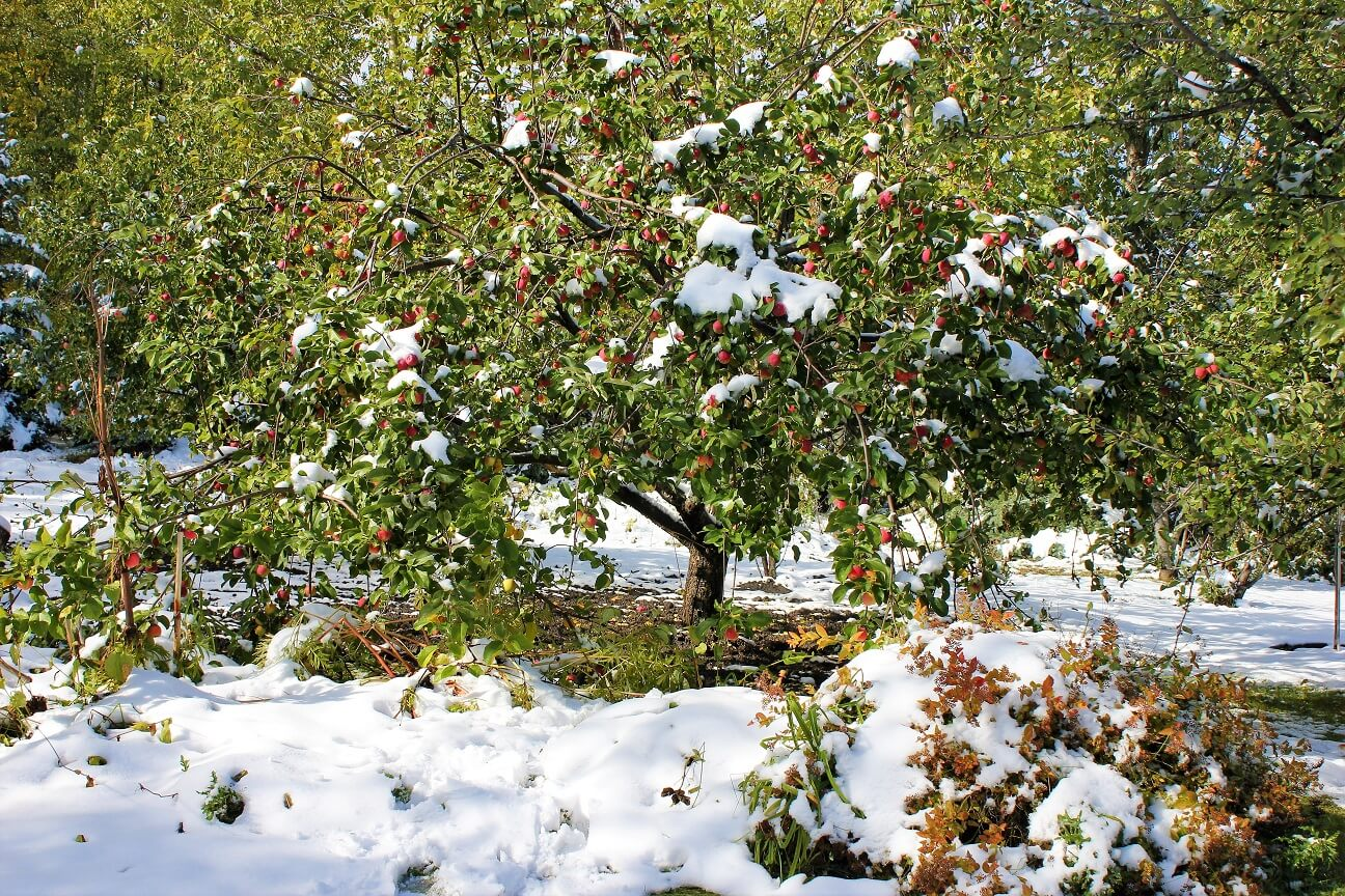 Apple Tree after the Snowfall -